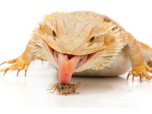 Bearded-Dragon-Eating-Cricket-600x450-1-v1.jpg